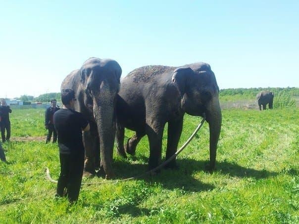 Около торгового центра «Мега» разгуливают 4 слона
