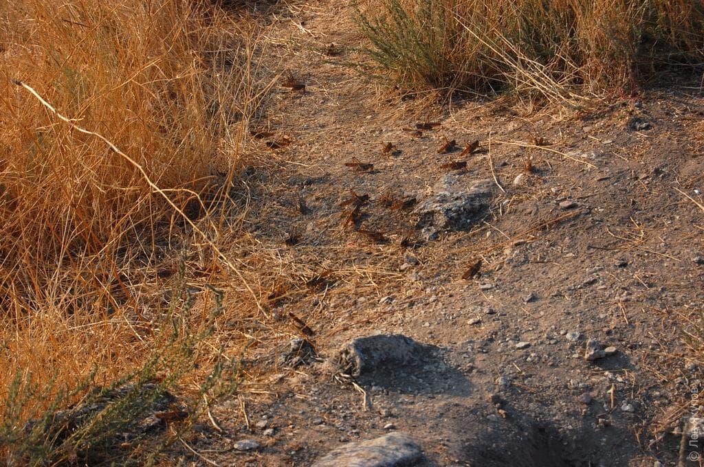 Из-за нашествия саранчи врайонах Башкортостана введен режимЧС