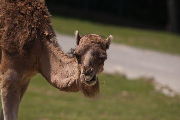 ВБашкирии верблюд покусал женщину налесопосадке