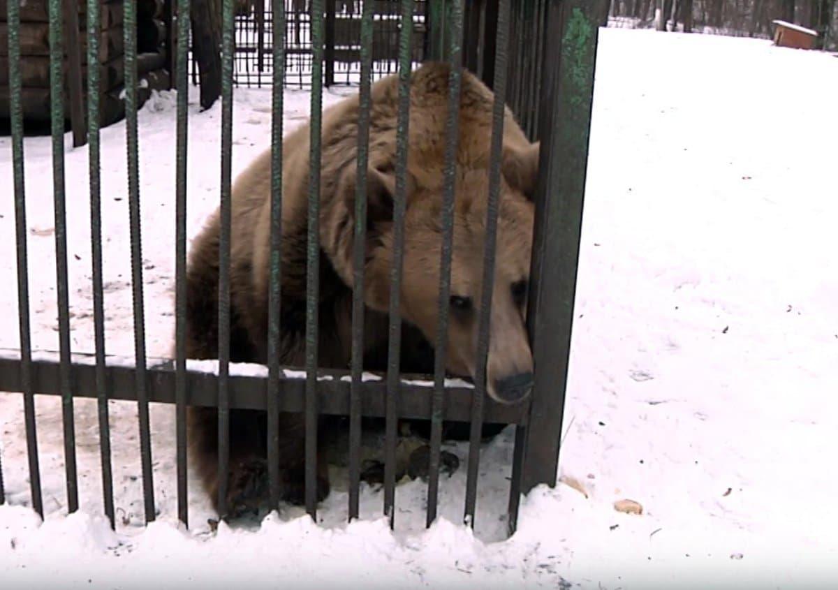 Вуфимском парке Лесоводов медведи немогут впасть вспячку