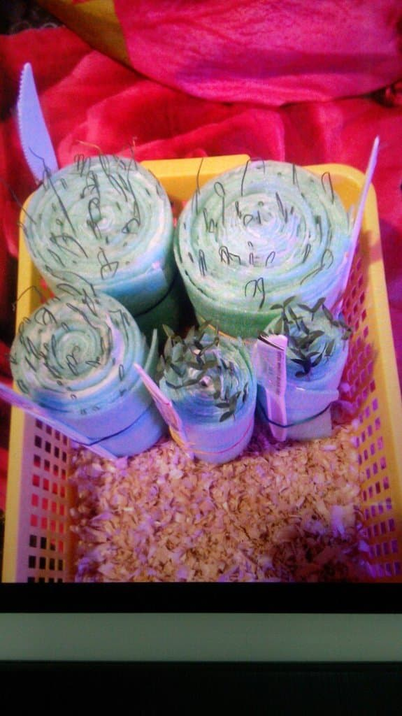 Продажа рассады помидор на территории совхоза цветы башкирии
